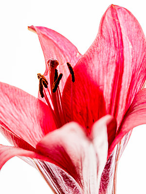 Red Lily - p401m2187912 by Frank Baquet