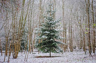 Fir tree in snow - p1170m1559014 by Bjanka Kadic