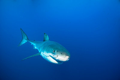 Mexico, Guadalupe, Pacific Ocean, white shark, Carcharodon carcharias - p300m982254f by Guido Floren