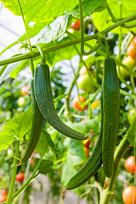 Detail of cucumber plants hanging in a hoop greenhouse; Palmer, Alaska, United States of America - p442m2058061 by Kevin G. Smith