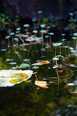 Lily Pads in Pond - p5550712f by LOOK Photography