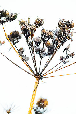 Dried cow parsley seed head with spiders web - p1302m2214848 by Richard Nixon