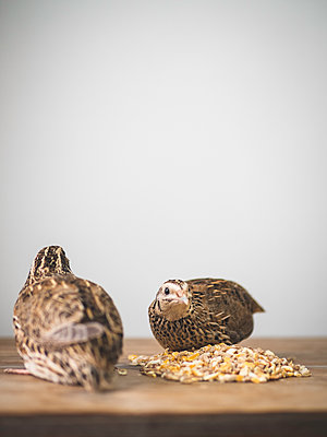 Two quails next to fodder on a table - p1522m2064648 by Almag