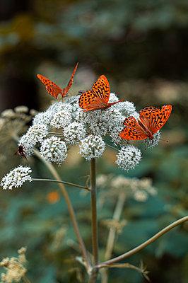 Fritillary butterflies - p1609m2253823 by Katrin Wolfmeier