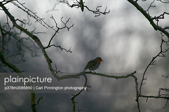 sacred songbird - p378m2085890 by Carl Pinnington photography