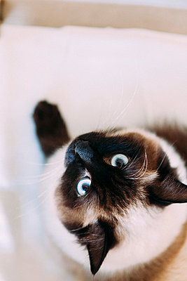 Ragdoll-Katze - p1076m939905 von TOBSN
