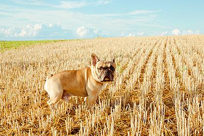 Französische Bulldogge allein auf Acker - p432m1190829 von mia takahara