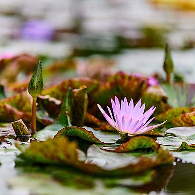 Seerosen auf einem Teich - p587m2227560 von Spitta + Hellwig