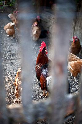 Hühner hinter dem Zaun, Sindelsdorf, Weilheim-Schongau, Bayerisches Oberland, Oberbayern, Bayern, Deutschland - p1316m1160477 von Peter von Felbert