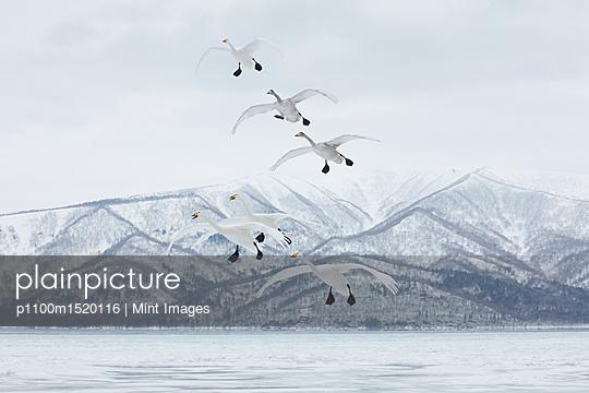 Whooper Swan, Cygnus cygnus, mid-air in winter. - p1100m1520116 by Mint Images