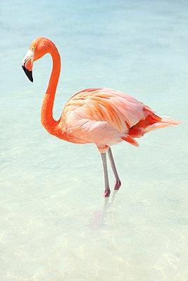Flamingo at Aruba - p045m912526 by Jasmin Sander