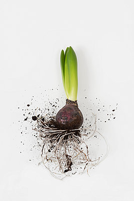 Hyacinth - p1149m952396 by Yvonne Röder