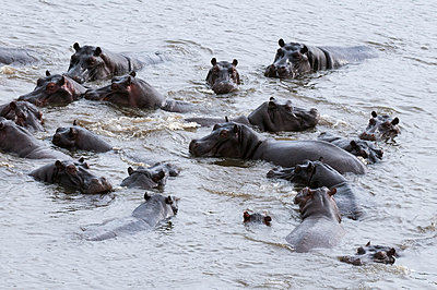 Aerial view of hippopotamuses (Hippopotamus amphibius), Okavango Delta, Botswana, Africa - p871m998834f by Sergio Pitamitz