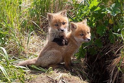 Red Fox kits playing - p884m864051 by Matthias Breiter