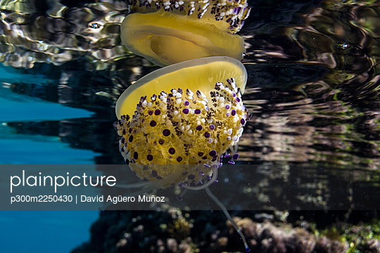 Jellyfish swimming by coral undersea - p300m2250430 by David Agüero Muñoz