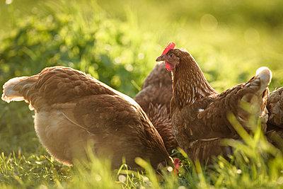 Freilandhühner - p1273m1578252 von melanka