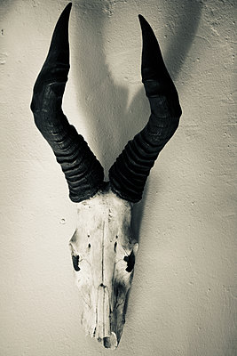 South Africa, Animal Skull Springbok - p1640m2242078 by Holly & John