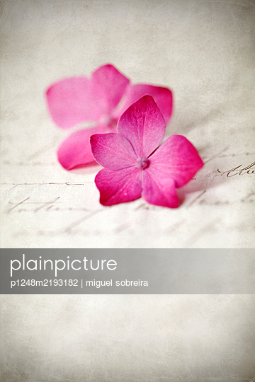Two hydrangea blossoms on letter - p1248m2193182 by miguel sobreira