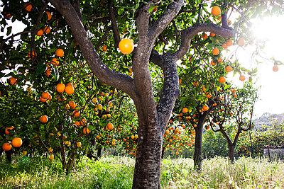 Orangenbäume - p1386m1452244 von beesch