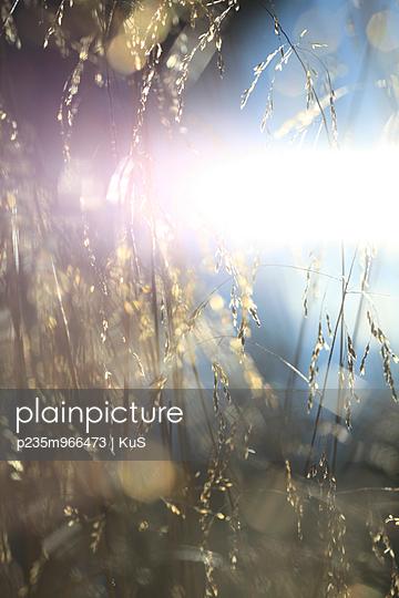 Blühendes Gras leuchtet in der Sommersonne - p235m966473 von KuS