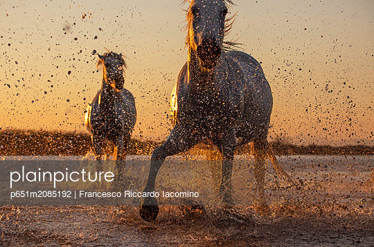 White Wild Horses of Camargue running on water, Aigues Mortes, Southern France - p651m2085192 by Francesco Riccardo Iacomino