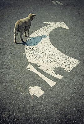 Ein Schaf biegt rechts ab - p1443m2185150 von SIMON SPITZNAGEL