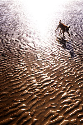 Small dog running on beach at low tide - p597m1214946 by Tim Robinson