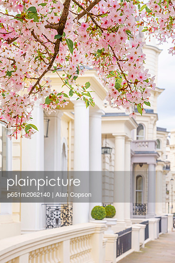 UK, England, London, Notting Hill, Ladbroke Grove, Cherry Blossom - p651m2062140 by Alan Copson