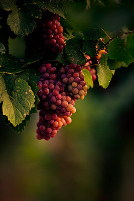 Wine Grapes - p1026m874777f by Romulic-Stojcic