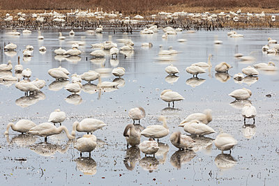 Tundra Swan flock motion blur and reflections - p1480m2229482 by Brian W. Downs