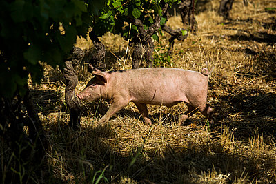 Pig in the vineyard - p628m1476212 by Franco Cozzo