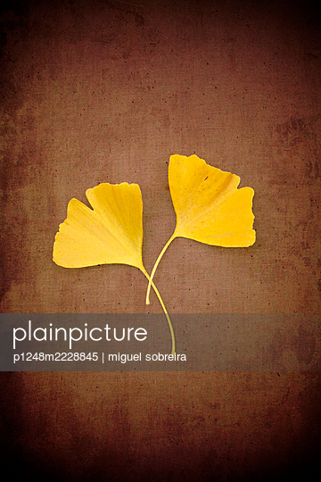 Two ginkgo leaves overlapping  - p1248m2228845 by miguel sobreira