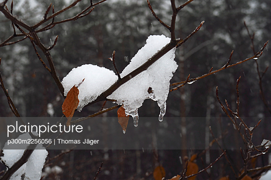 Snow on bare tree branches in winter - p300m2256056 by Thomas Jäger