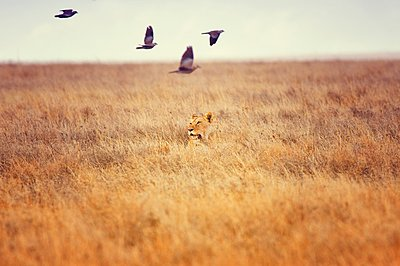 Lioness hunting, Serengeti, Tanzania, Africa - p429m1148795 by Romona Robbins Photography