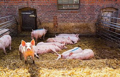 Schweine - p1053m793708 von Joern Rynio
