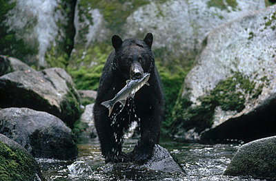 Black Bear catching salmon - p884m862197 by Michio Hoshino