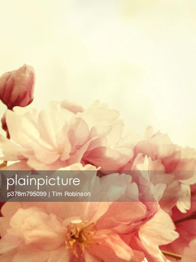 Close up cherry blossom - p378m795099 by Tim Robinson