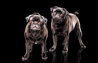 Two pugs - p803m2270202 by Thomas Balzer