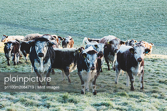 Herd of English Longhorn cows standing on a pasture, looking at camera. - p1100m2084719 by Mint Images