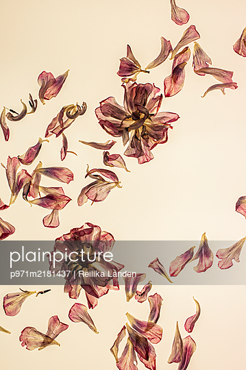 Dried tulips and petals - p971m2181437 by Reilika Landen