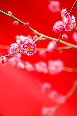 Plum blossom - p5143946f by Tetsu