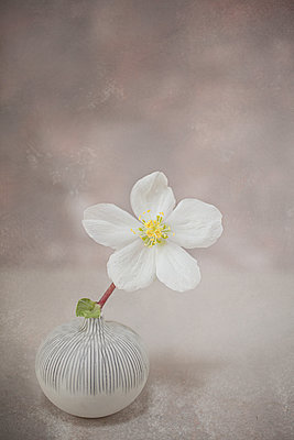 White Hellebore in pot - p1470m1539170 by julie davenport