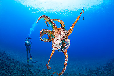 Cautious and curious at the same time, this day octopus (Octopus cyanea) keeps a close eye on the diver; Hawaii, United States of America - p442m2032311 by Dave Fleetham