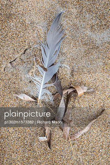A feather and dried seaweed washed up on the sand of a beach - p1302m1573382 by Richard Nixon