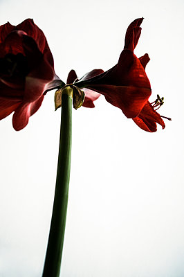 Red amaryllis flowers - p1047m1109667 by Sally Mundy
