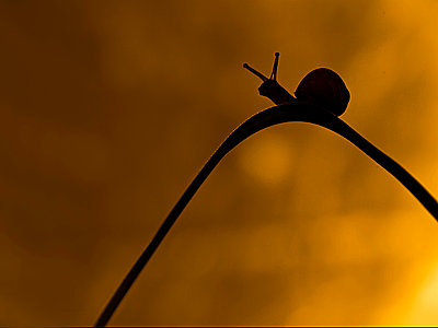 Grove snail in evening light - p1144m943824 by Jan van der  Greef