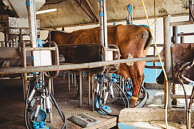 Milking equipment and cow in the barn - p1315m1199724 by Wavebreak