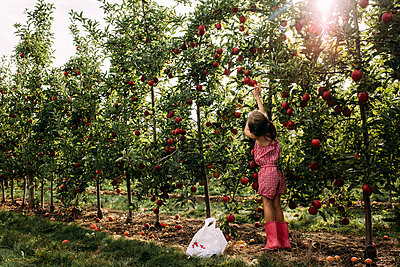 Full length of girl harvesting apple from tree at farm - p1166m2001359 by Cavan Images