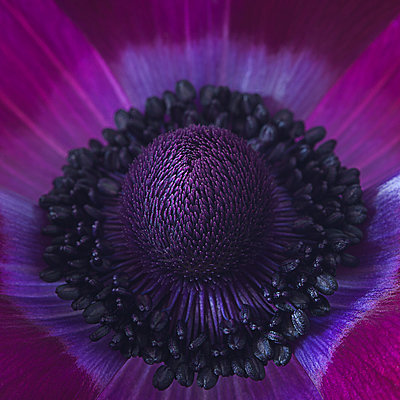 Close up of centre of an Anenome - p1470m1541303 by julie davenport