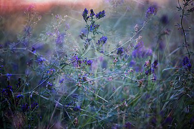 Meadow with purple flowers - p1640m2245905 by Holly & John